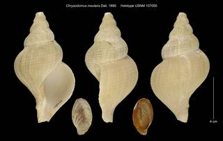 To NMNH Extant Collection (Chrysodomus insularis Holotype USNM 107000)