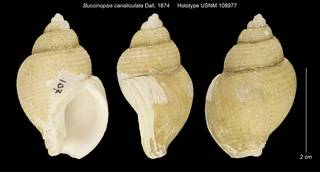 To NMNH Extant Collection (Buccinopsis canaliculata Holotype USNM 108977)