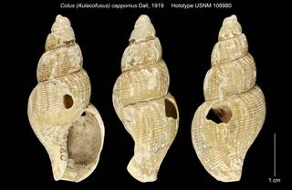 To NMNH Extant Collection (Colus (Aulacofusus) capponius Holotype USNM 108980)