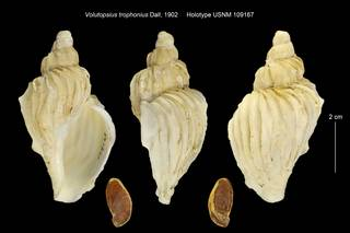 To NMNH Extant Collection (Volutopsius trophonius USNM 109167)