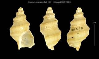 To NMNH Extant Collection (Buccinum cnismatum USNM 110518)