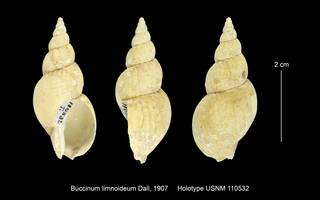 To NMNH Extant Collection (Biccinum limnoideum USNM 110532)