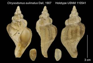 To NMNH Extant Collection (Chrysodomus eulimatus Holotype USNM 110541)