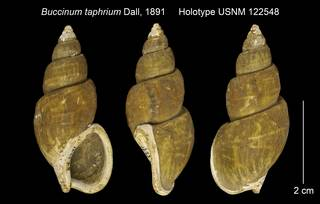 To NMNH Extant Collection (Buccinum taphrium Holotype USNM 122548)
