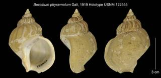 To NMNH Extant Collection (Buccinum physematum Holotype USNM 122555)