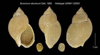 To NMNH Extant Collection (Buccinum aleuticum Holotype USNM 122591)