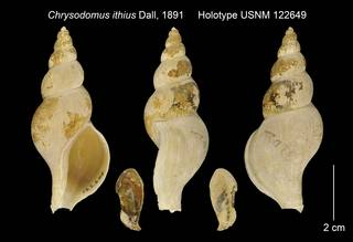 To NMNH Extant Collection (Chrysodomus ithius Holotype USNM 122649)