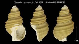 To NMNH Extant Collection (Chrysodomus eucosmius Holotype USNM 122670)