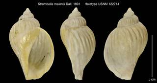 To NMNH Extant Collection (Strombella melonis Holotype USNM 122714)