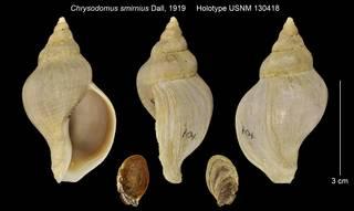 To NMNH Extant Collection (Chrysodomus smirnius Holotype USNM 130418)