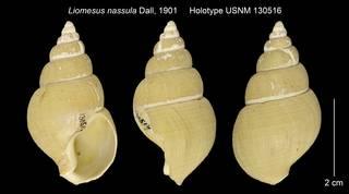 To NMNH Extant Collection (Liomesus nassula Holotype USNM 130516)