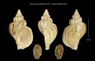 To NMNH Extant Collection (Beringius indentatus Holotype USNM 213315)