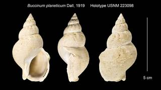 To NMNH Extant Collection (Buccinum planeticum Holotype USNM 223098)