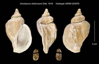 To NMNH Extant Collection (Volutopsius stefanssoni Holotype USNM 224078)