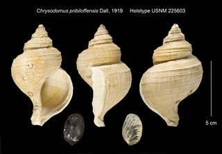 To NMNH Extant Collection (Chrysodomus pribiloffensis Holotype USNM 225603)