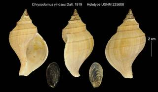 To NMNH Extant Collection (Chrysodomus vinosus USNM 225608)