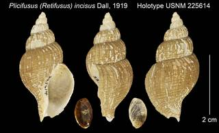 To NMNH Extant Collection (Plicifusus (Retifusus) incisus Holotype USNM 225614)