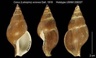 To NMNH Extant Collection (Colus (Latisipho) errones Holotype USNM 226227)