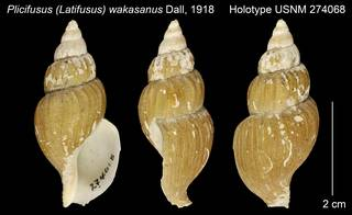 To NMNH Extant Collection (Plicifusus (Latifusus) wakasanus Holotype USNM 274068)
