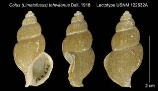 To NMNH Extant Collection (Colus (Limatofusus) tahwitanus Lectotype USNM 122632A)