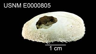 To NMNH Extant Collection (Gonimaretia laevis USNM E0000805 - lateral)