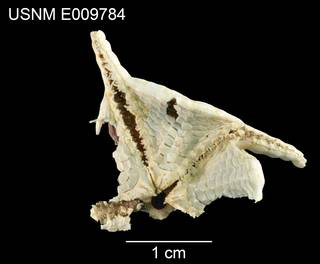 To NMNH Extant Collection (Styracaster monacanthus USNM E009784 - ventral)