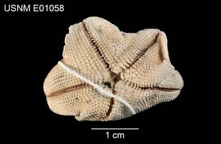 To NMNH Extant Collection (Asterina orthodon USNM E01058 - ventral)