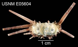 To NMNH Extant Collection (Hesperocidaris houstoniana USNM E05604 - lateral)