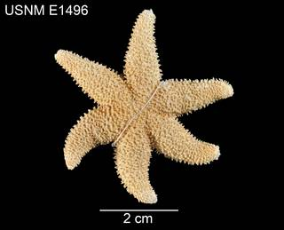 To NMNH Extant Collection (Leptasterias asteira USNM E1496 - dorsal)