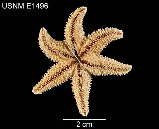 To NMNH Extant Collection (Leptasterias asteira USNM E1496 - ventral)