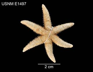 To NMNH Extant Collection (Leptasterias leptodoma USNM E1497 - dorsal)