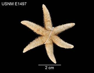 To NMNH Extant Collection (Leptasterias leptodoma USNM E1497 - dorsal)