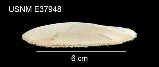 To NMNH Extant Collection (Mellita isometra USNM E37948 - lateral)