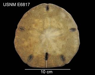 To NMNH Extant Collection (Encope micropora galapagensis USNM E6817 - dorsal)