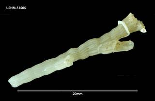 To NMNH Extant Collection (Chitinopomoides wilsoni 51505)