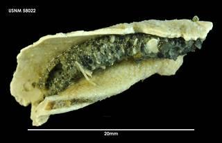 To NMNH Extant Collection (Pista corrientis (1) 58022)