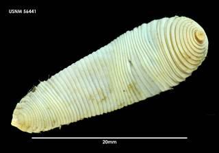 To NMNH Extant Collection (Travisia antarctica (1) 56441)
