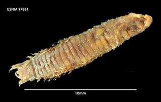 To NMNH Extant Collection (Nothria abyssia (1) 97881)