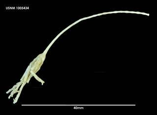 To NMNH Extant Collection (Bathycrinus australis (1) 1005434)