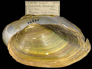 To NMNH Extant Collection (IZ MOL 86600 Anodonta dariensis Type)