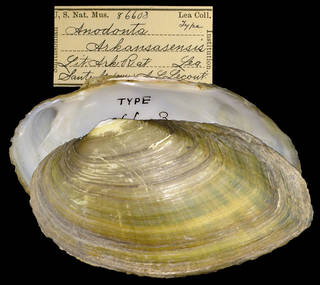 To NMNH Extant Collection (IZ MOL 86603 Anodonta arkansensis Holotype)