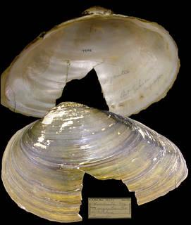 To NMNH Extant Collection (IZ MOL 86659 Anodonta gigantea Holotype)