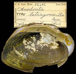 To NMNH Extant Collection (IZ MOL 86682 Anodonta tetragona Holotype)