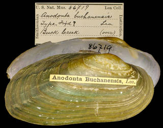 To NMNH Extant Collection (IZ MOL 86719 Anodonta buchanensis Type)