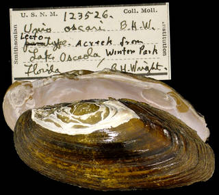 To NMNH Extant Collection (IZ MOL 123526 Unio oscari Lectotype)