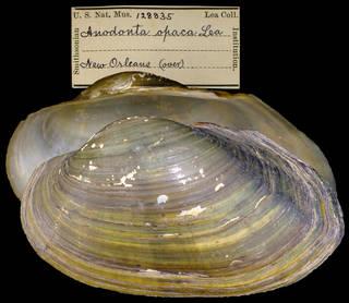 To NMNH Extant Collection (IZ MOL 128835 Anodonta opaca Holotype)