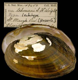 To NMNH Extant Collection (IZ MOL 149650 Unio lehmanii Lectotype)