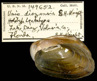 To NMNH Extant Collection (IZ MOL 149652 Unio diazensis Lectotype)