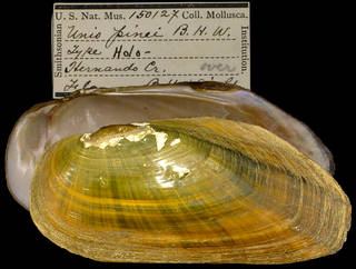 To NMNH Extant Collection (IZ MOL 150127 Unio pinei Holotype)