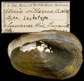 To NMNH Extant Collection (IZ MOL 150503 Unio villosus Holotype)